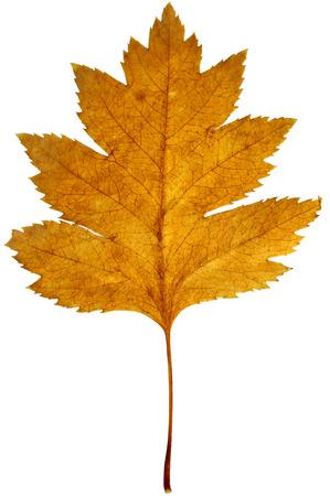 Full size photo of leaf isolated on white background