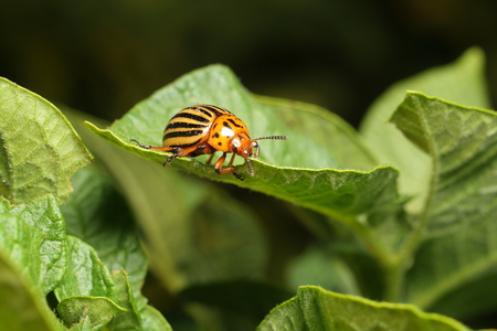 Colorado potato beetle eats a potato leaves