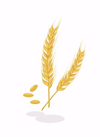 Realistic ear of wheat on white background. Cereals harvest, agriculture, organic farming, healthy food symbol.