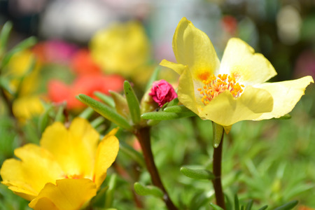 vibrant cottage: purslane flowers, yellow purslane, red purslane, pink portulaca, photo purslane, photo portulaca, plants purslane, summer flowers, small flowers, spring flowers, green steam, succulent petals, round petals, on a bed, decorative flowers, flower beds, seedl Stock Photo