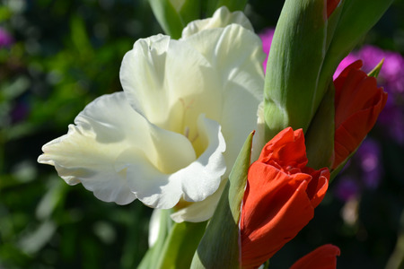 fragility: Gladiolus, glad, gladiole, flowers, nature, petal, white, plant, beauty, head, backgrounds, color, background, bud, summer, colored, pink, stem, red, blossom, fragility, beautiful, freshness, green, yellow, macro, image, vibrant, leaf, colors, bouquet, mu