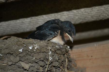 Nestling martlet, photo martlet, images bird, bird martlet, in slot, hungry chicks, chick swallows, black bird, swallows nest, chick swallows, in slot, beautiful bird photo