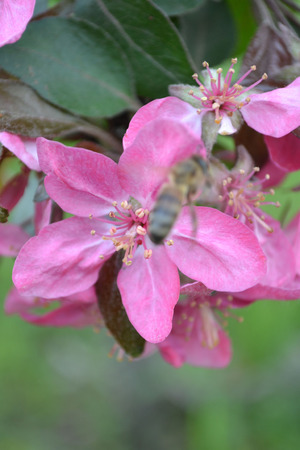 five petals: Flowers of apple apple blossoms red flowers bees pollinatebeautiful flowers apple trees flowers on branchesspring flowers the smell apple apple orchard apple blossom five petals many flowers beautiful bud bright color bright flower