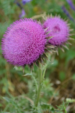 bud weed: spiny flower; beautiful flower; bright flower; wildflower; for medicine; thorns; flower background; flower; close-up; green stem; spiny petals; fragrant flower; weed, high flower; summer flower picture thistle flower thistle, lilac flower, big bud, plant