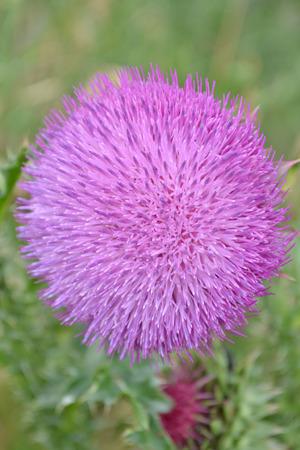spiny: spiny flower Stock Photo