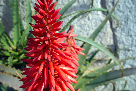 Bright beautiful red aloe flower (Aloe Bellatula) against a white wall in Nice Park. Useful medicinal plant. Succulents.