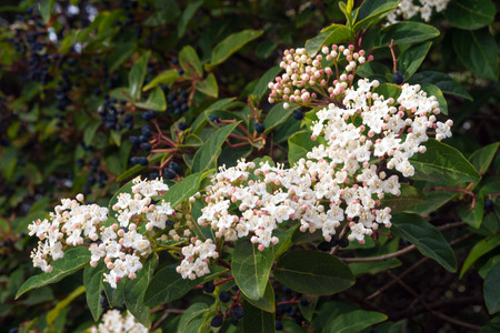 White small flowers of viburnum laurel (Viburnum tinus). Mediterranean tree with small white or pink flowers and black berries.