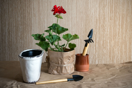 Red geranium flower and tools for planting flowers on craft paper. Preparation for transplanting indoor plants. Growing flowers.