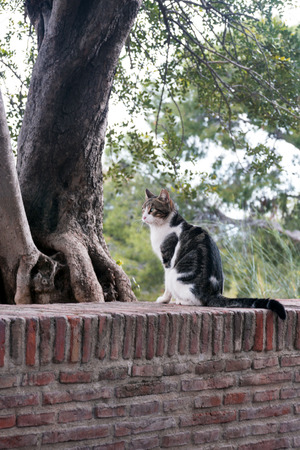 A black and white cat that lives in the fortress of Gibralfaro, Malaga, is photographed against the background of coniferous trees. Looks thoughtfully into the distance.