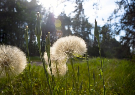 Dandelions in the morning sun among the lush grass in the forest. Medicinal plants. The suns rays make their way through the trees. Dawn.