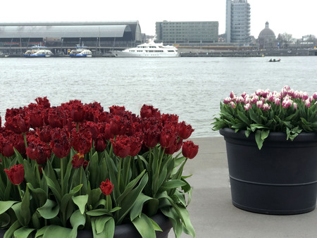 Incredibly beautiful, bright flowers - tulips in early spring close up against the background of the river in Amsterdam, Holland, Europe