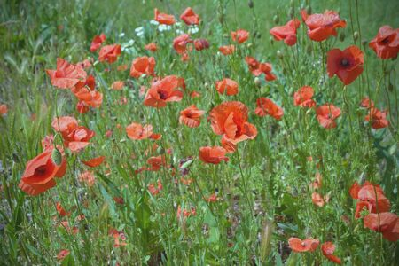 Red wild fields of poppies in the rays of the evening sun. Flowers by the road. Field of wildflowers. Warm summer. Macs are a symbol of memory.