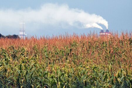 Young green corn on the field against the background of the plant. White, thick, toxic smoke emanates from the factory chimney. Environmental pollution. Chemical industry. Banco de Imagens