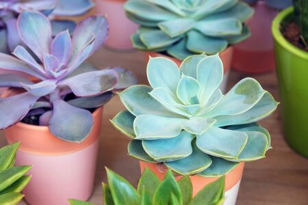 Plants of the genus Crassulaceae in pots at a flower shop. Succulents. Stok Fotoğraf
