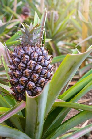 Tasty sweet fruits. Growing pineapples in a greenhouse on the island of San Miguel, Ponta Delgada, Portugal. Pineapple is a symbol of the Azores.