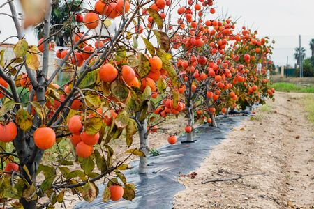 Beautiful big sweet spanish persimmon. Delicious fruits in the gardens of the Valencia region, Spain. Abundant harvest. 版權商用圖片