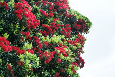 Red flowers of Metrosideros excelsa plant against a cloudy sky. Blooming tree on the island of San Miguel, Portugal. Travel to the Azores.