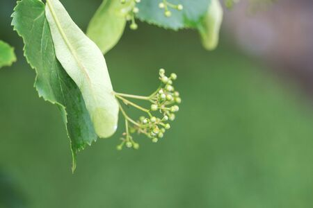 Unblown linden flowers after rain. Buds and leaves of the Tilia tree. Useful medicinal plants. Close-up, blurry.