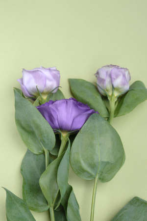 Purple roses on a green background. Unusual flowers Eustoma for a gift.