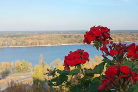 Bright red Geranium flowers against the background of the Ukrainian landscape. Golden autumn in Ukraine. View of the Dnieper, a small island and yellow trees in the city of Kanev, Ukraine. Stock fotó