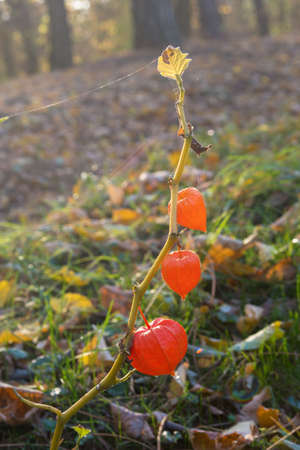 Red fruits of Physalis alkekengi in warm autumn park. Thin cobweb on the plant. Gold autumn.