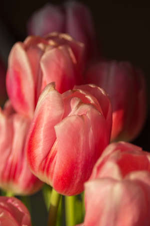 Delicate pink tulips close-up. Spring flowers are a good gift for mom, girlfriend, beloved. Reklamní fotografie