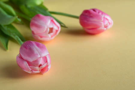Delicate pink flowers on a yellow background. Tulips are a symbol of tenderness, spring and love.