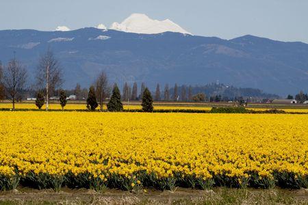 Mt. Baker and Daffodils 版權商用圖片