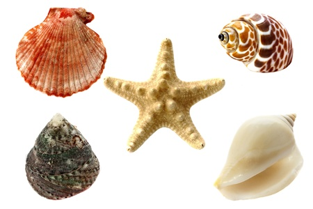 scallop: Collection of seashells, isolated