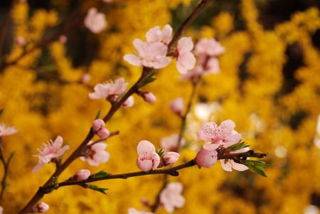 Cherry flower and yellow jasmine blossom in spring photo