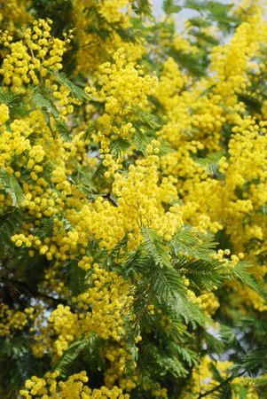 Mimosa in bloom at spring close up photo