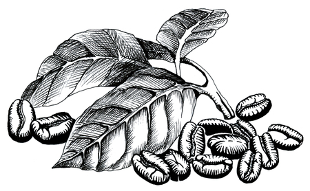 Coffee branch with leaves with whole coffee beans hand-drawing ink illustration Stock Photo