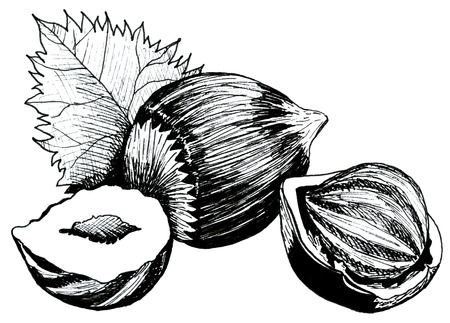 hazelnut nut with leaves and shell hand drawing ink
