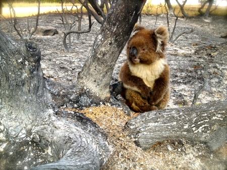 bush fire: lucky koala in a bush fire