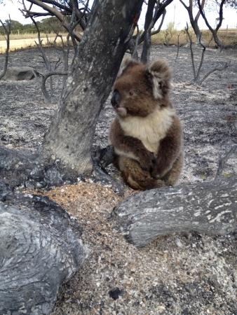 bush fire: Lucky koala in bush fire