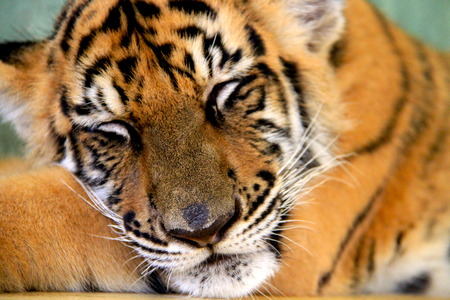 tigre bebe: beb� tigre en Tailandia dormir Foto de archivo
