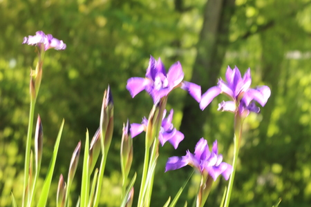 Group of Purple Japanese Iris Landscape Style Stock Photo