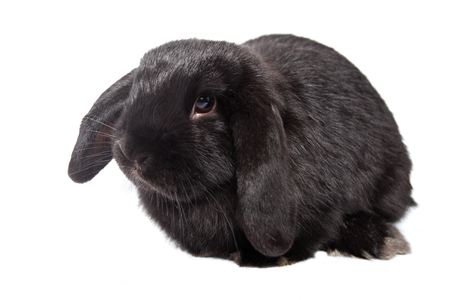 Funny baby rabbit lop on an isolated background