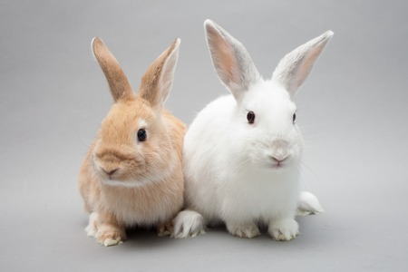 Two adorable little baby bunnies in a solid background gazing in Stockfoto