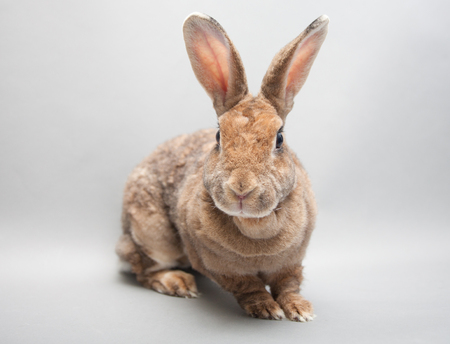 Adorable red rabbit with huge ears on a white background