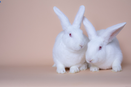 A couple of cute white bunny rabbits on a solid pink background