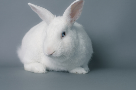 Gorgeous white bunny rabbit with huge ears on a seamless gray background Stock Photo