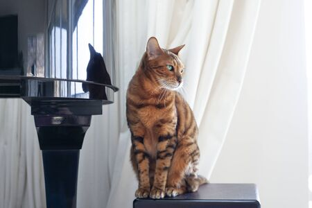 Elegant and charming Bengal cat sitting gracefully on the podium next to a piano