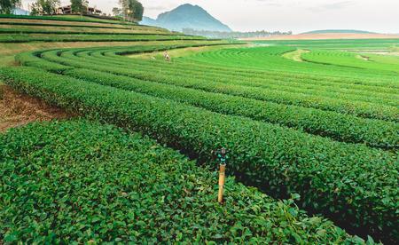 tea trees: Tea trees farm on the mountain in Thailand.