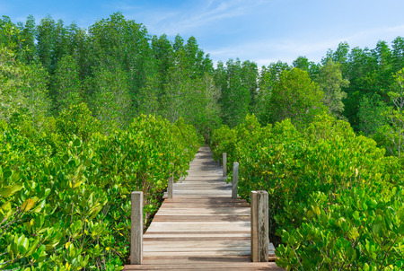 The walkway made from wood that through mangrove forest