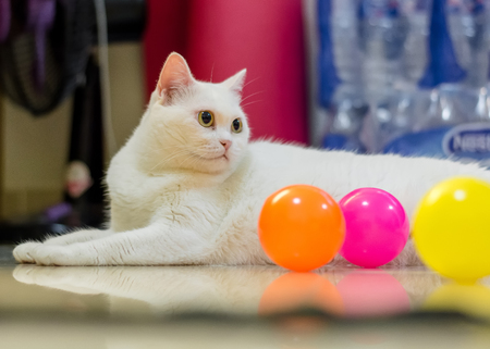 Cute white chubby cat ready to play color balls Reklamní fotografie
