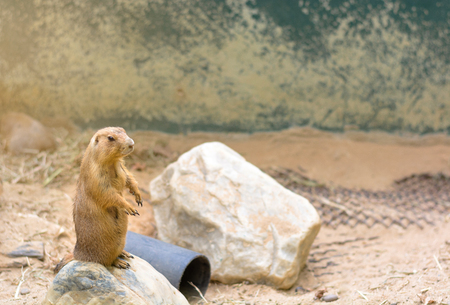 Prairie dog stand and looking something on stone at zoo in Thailand.
