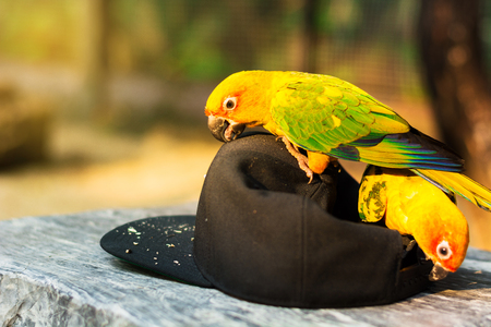 Two parrot birds are picking black cap on stone table