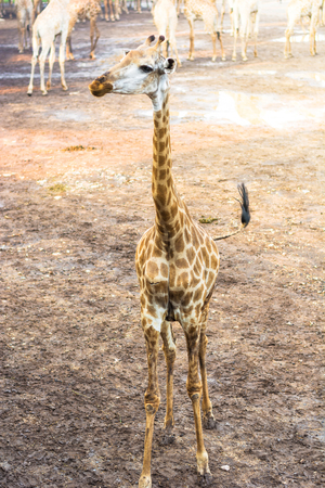 Isolated picture of young giraffe standing Reklamní fotografie