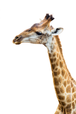 Upper part of giraffe with isolated background